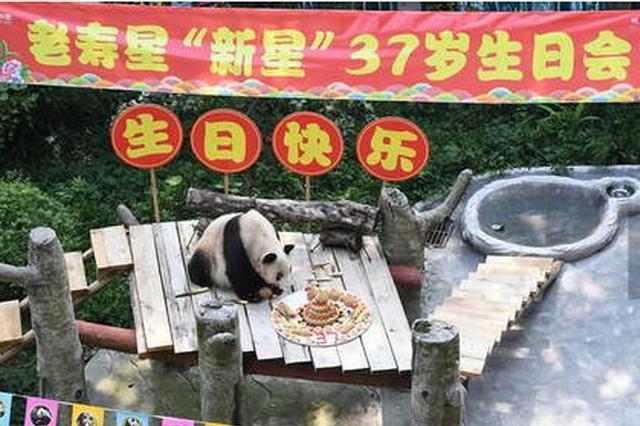 世界现存最年长大熊猫迎来37岁生日