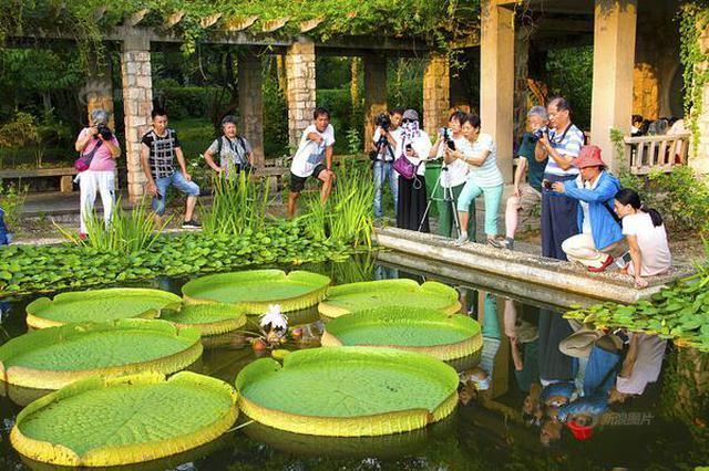 南京中山植物园王莲开花 叶片大到可承载一成年人