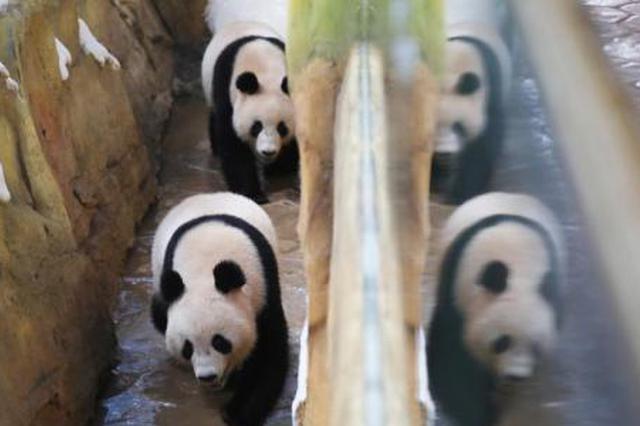 """10只大熊猫落户南京紫清湖 其中6只是""""海归"""""""