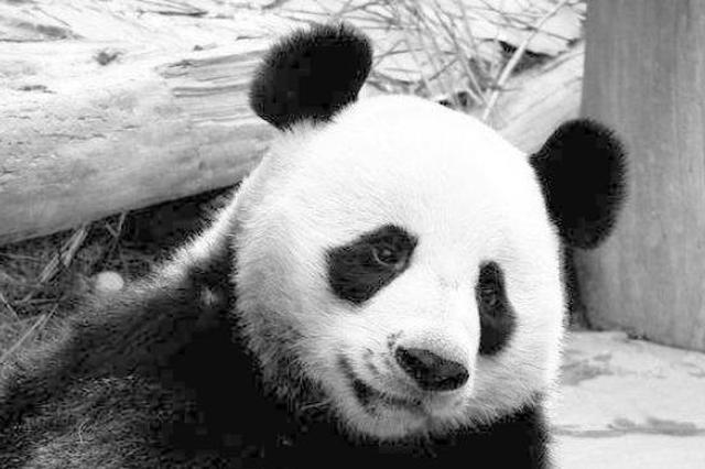"""旅泰大熊猫""""创创""""死亡,死因有待调查"""