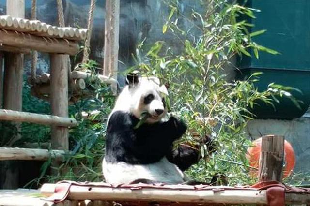 """泰国民众黑衣告别""""创创"""" 熊猫伴侣""""林惠""""独自进食竹叶"""