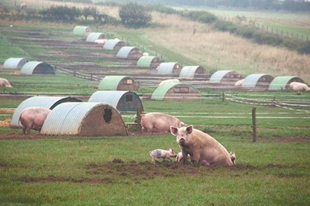 苏南等地养猪业调查:整治力度大 发展没跟上