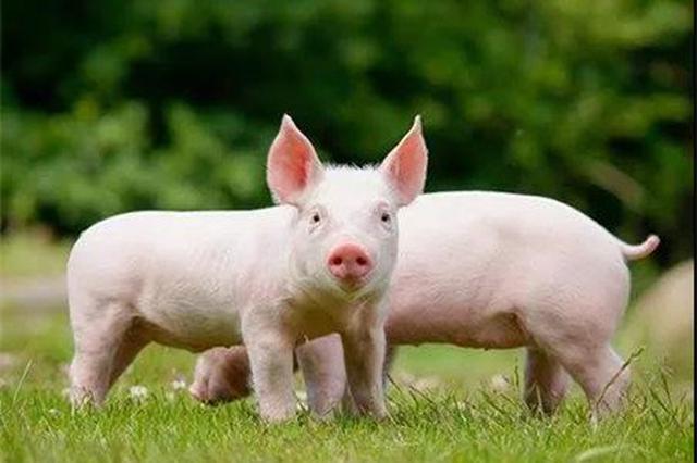 10月猪价上涨占CPI环比涨幅近九成 牛羊鸡肉均涨