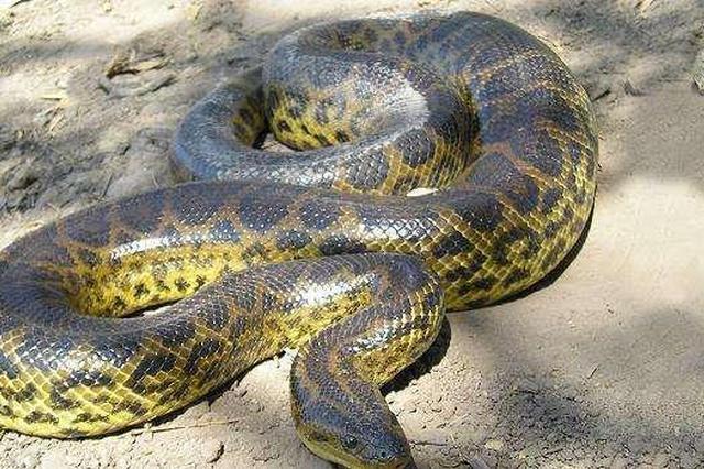 40斤大蟒蛇疑藏天花板十年 警察:将放归大自然