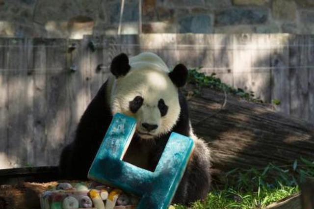 """旅美大熊猫""""贝贝""""回家:爸爸妈妈将继续留在美国"""