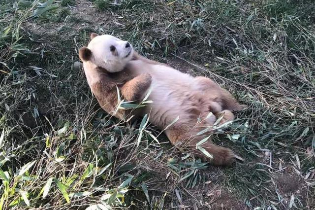 """全球唯一圈养棕色大熊猫""""七仔""""被认养"""