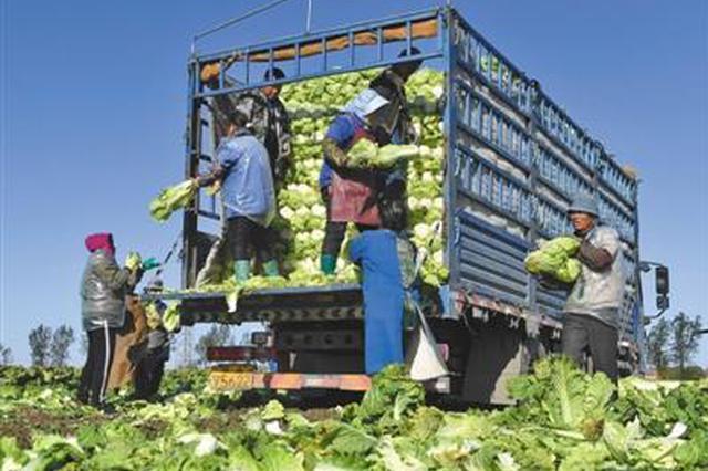 白菜市场批发价创近年新低 部分农户等腊月出售
