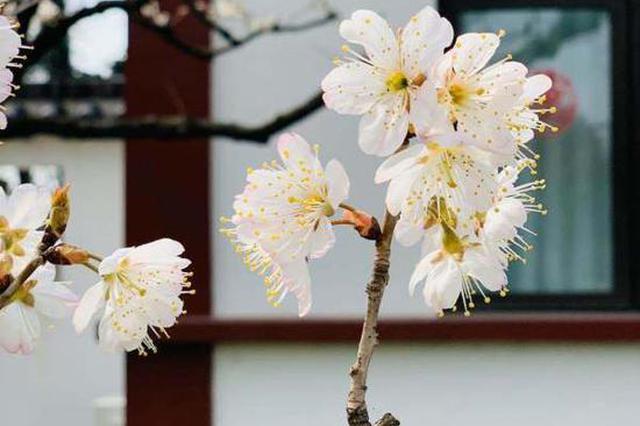 鸡鸣寺、玄武湖花都开了 一起在线云赏花!