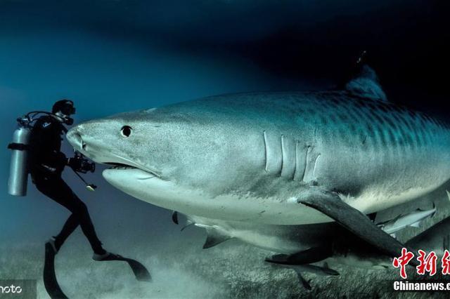 老人潜水与虎鲨共游 离尖牙仅咫尺距离
