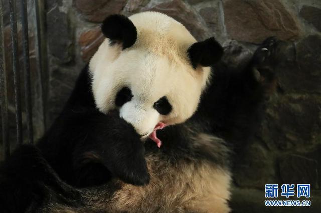 2020年全球首对圈养大熊猫双胞胎在成都诞生