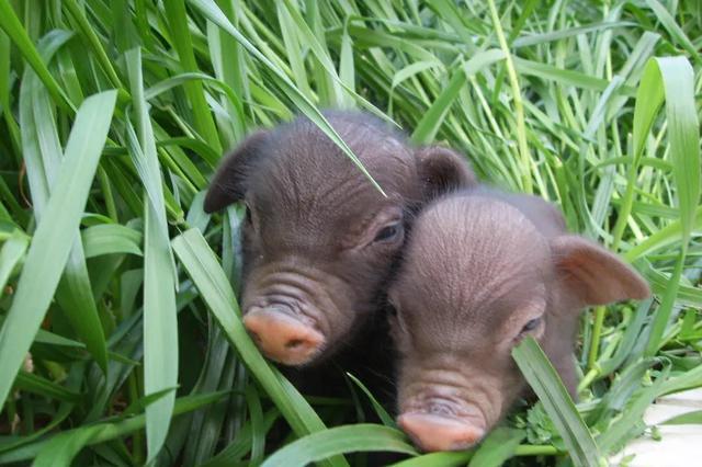 新版《国家畜禽遗传资源目录》征求意见 这些动物可食用