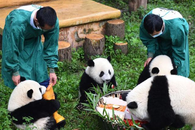 """""""双重喜庆"""" 重庆动物园为4只大熊猫庆祝1岁生日"""