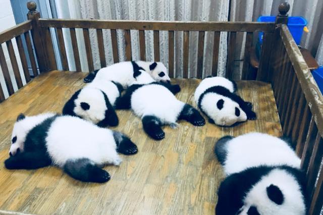 """""""严重过敏致多器官衰竭""""成都大熊猫基地公布两幼仔死因"""