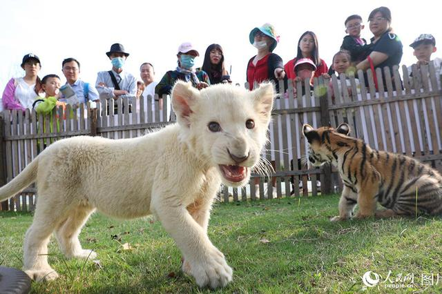 江苏南通:白狮和东北虎幼崽国庆节首次亮相