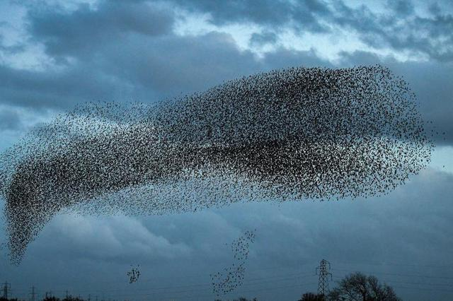 成群椋鸟聚集变换形状 似神秘天外来客