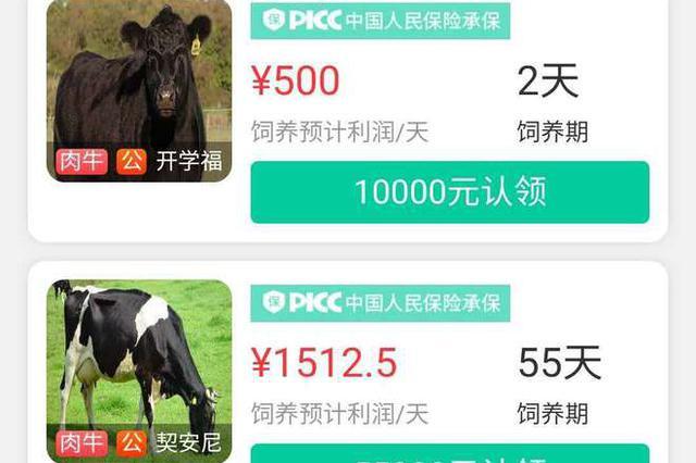 """""""云养牛""""App骗局:以不存在的牛骗钱 受害者遍布全国"""