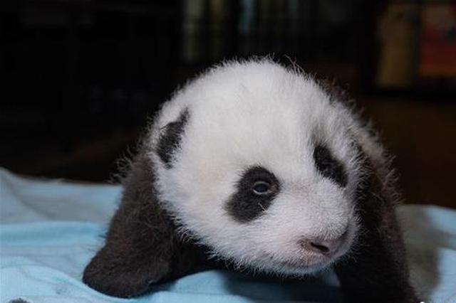 """华盛顿动物园澄清:大熊猫""""美香""""已恢复食欲 幼崽茁壮成长"""
