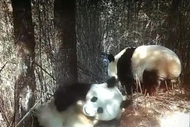 四川平武:红外相机拍下野生雌雄大熊猫同框画面