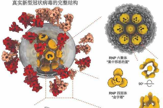 3D影像来了!新冠病毒原来长这样