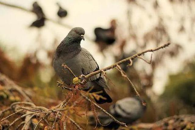 """江苏一男子因养鸽子患上""""鹦鹉热"""":高热不退,吃头孢也没用"""