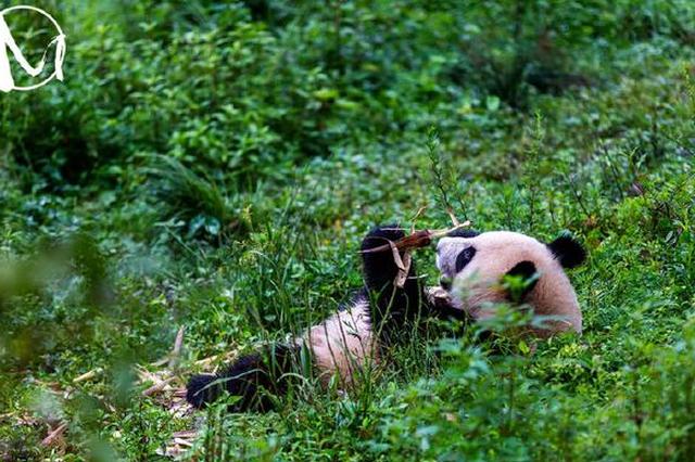 中国大熊猫保护研究中心2020级熊猫宝宝集体亮相贺新春