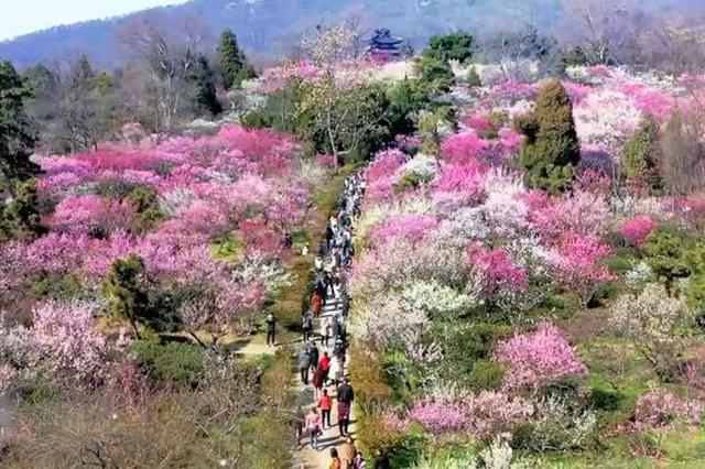 南京梅花山的春天