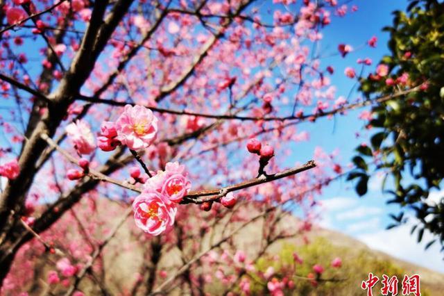 四川汶川春意正浓 红梅花开