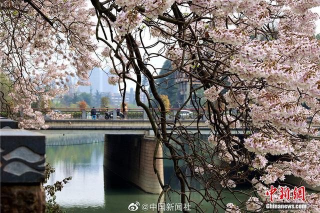 美到少女心爆棚!成都锦江河畔的泡桐花开了