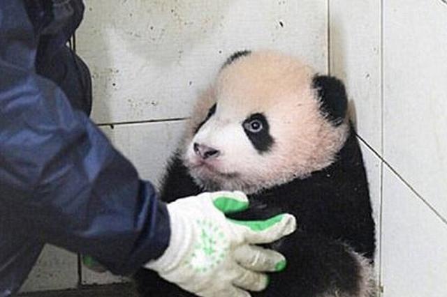 """""""水上大熊猫""""——中华白海豚福建海域翻滚嬉戏"""