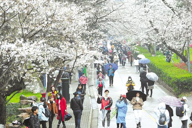 武汉大学赏樱首日 小雨难挡民众热情