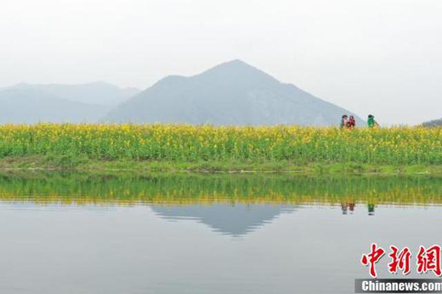 浙江杭州杂交油菜花盛放吸引游人观赏