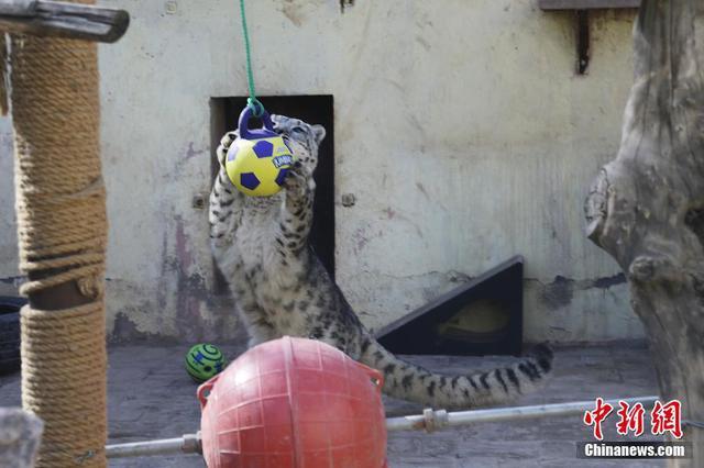 """青藏高原野生动物园为高原""""大猫""""添置新玩具"""