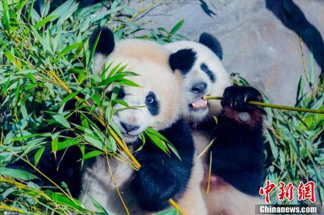 最新萌照曝光!柏林动物园双胞胎大熊猫津津有味啃竹子