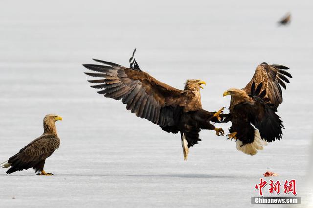 """中俄交界湿地群""""鹰""""荟萃 冰面争食场面激烈"""