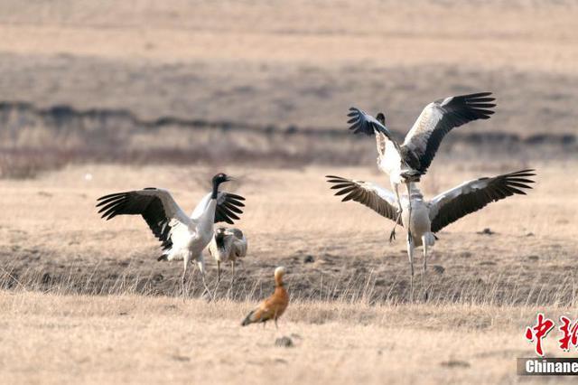 高原精灵——黑颈鹤飞抵四川红原大草原