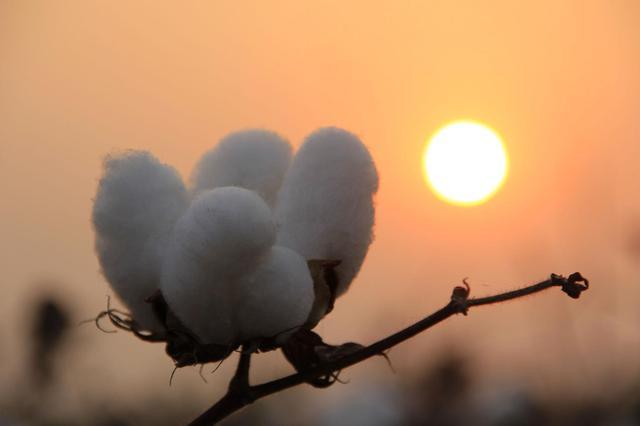 新疆棉花是如何采的?一起来看看