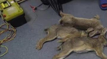 江寧警方回應男子因捕殺野兔被抓