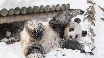 不惧严寒 大熊猫雪地撒欢