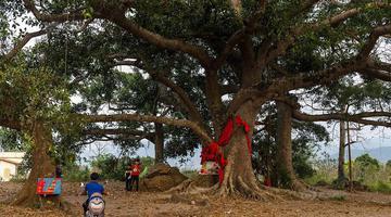 三百年古榕树形成六体连榕景观