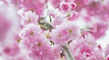 又是一年春华时 带你去全世界赏樱