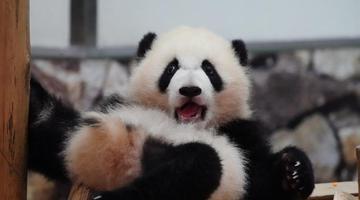 """大熊猫""""彩浜""""户外玩"""
