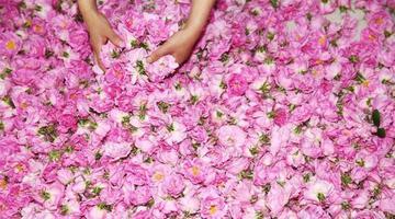 """玫瑰花铺就农民致富""""芬芳之路"""""""