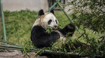 全球唯一大熊猫三胞胎姐姐候孕