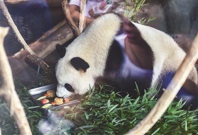 大熊猫胃口大开。邵丹 摄