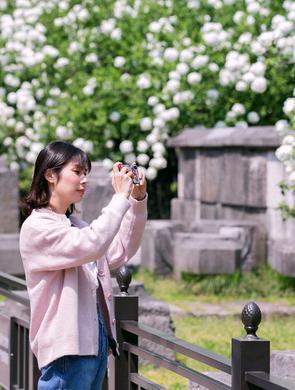 四月南京绣球花开坠枝头