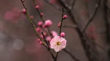 南京梅花山早梅盛开 雨中赏梅别有风味