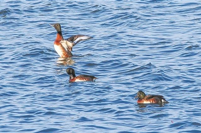 """江苏发现濒危物种""""青头潜鸭"""" 全球仅存不到700只"""