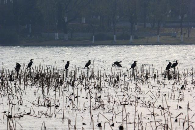 成群鸬鹚飞到玄武湖 南京几大湿地公园成候鸟天堂