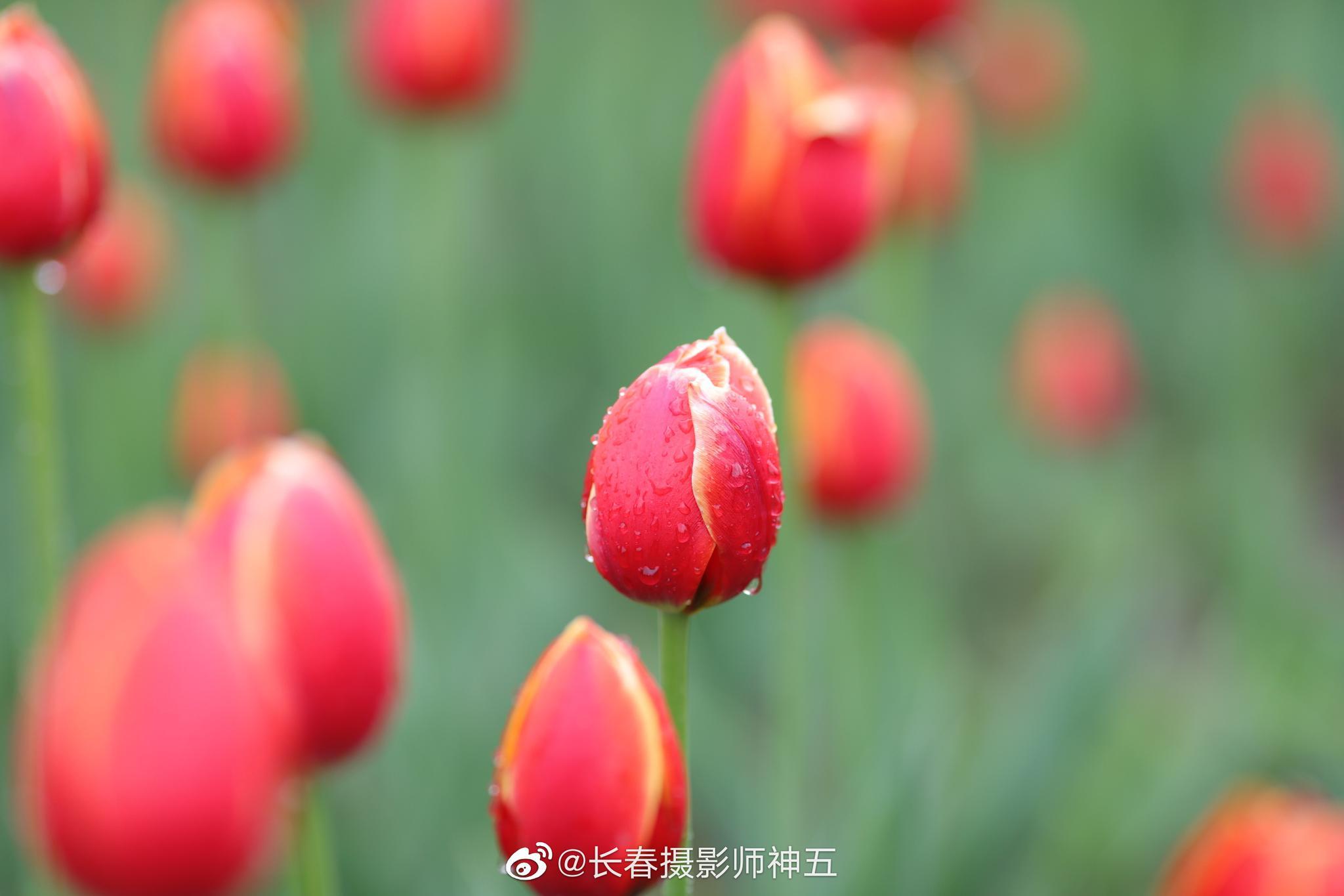 春雨连绵 郁金花香漫春城