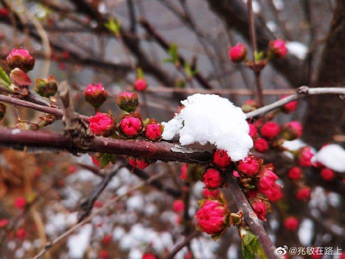 四月春雪压芳菲